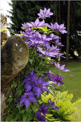 Klematis - Beskæring og plantning af Clematis