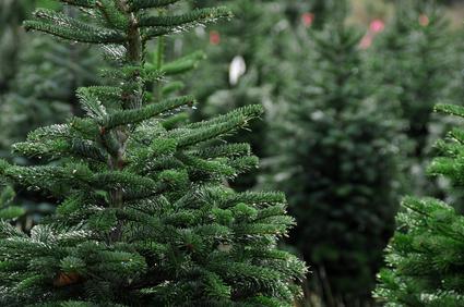 salg af juletræer aalborg