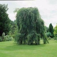 pæne træer