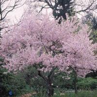 små træer med blomster
