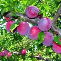 frugtbuske tilbud