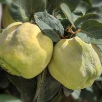 Pære / æble kvæde