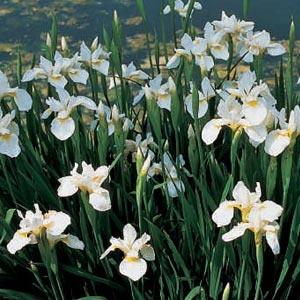 Billede af Sibirisk Iris - Iris sibirica Snow Queen