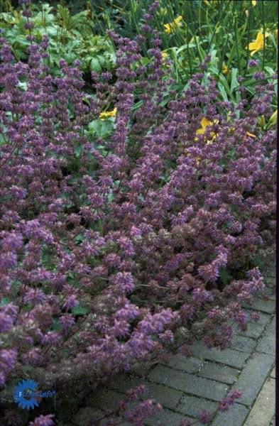 Kranssalvie - Salvia verticillata Purple Rain