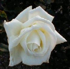 Image of   Storblomstrende Rose Caroline de Monaco - Rosa x Caroline de...