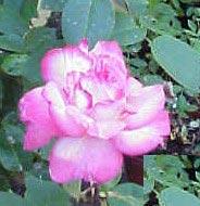Image of   Storblomstrende Rose Sigrid Undset - Rosa x Sigrid Undset