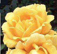 Image of   Storblomstrende Rose Western Sun - Rosa x Western Sun