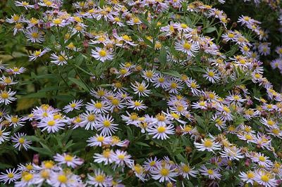 Asters - Aster ageratiodes Asran