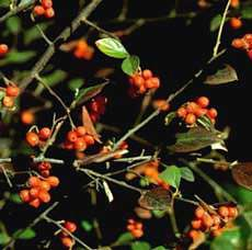 Dværgmispel - Cotoneaster franchetti