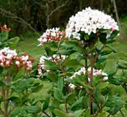Image of   Duftsnebolle Anne Russell - Viburnum x burkwoodii Anne...