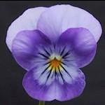 Image of   Hornviol - Himmelblå - Viola cornuta - Himmelblå