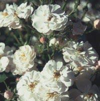 Image of   Bunddækkende Rose Snow Cover ® - Rosa x Snow Cover ®