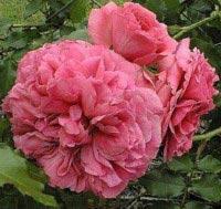 Buskrose Rosarium Uetersen - Rosa x Rosarium Uetersen