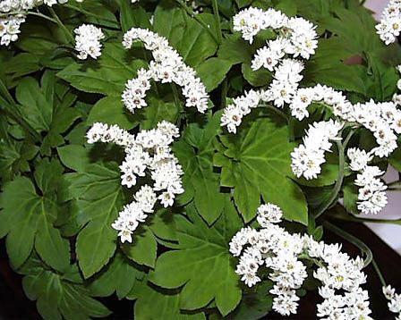 Image of   Ahornblad - Aceriphyllum rossii