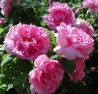 Billede af Gammeldags Rose Empress Joséphine - Rosa francofurtana...