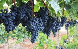 Vinplanter til frilandsdyrkning