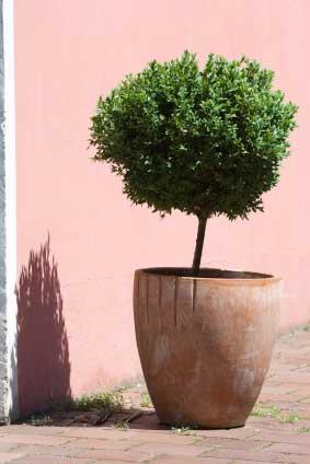 Formklippede træer og buske. Køb de flotteste planter her