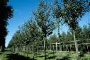 Salix alba - Salix alba