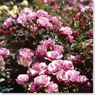 Bunddækkende roser