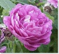 Historiske roser / Gammeldags roser