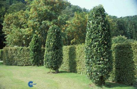 Søjleformede træer, pyramidetræer
