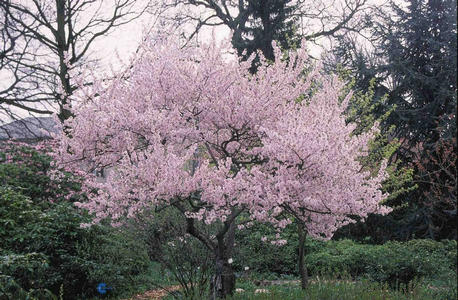 Små træer til små haver