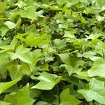 Planter til skråninger