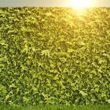 Stedsegrønne hækplanter