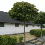 Træer til have og allé