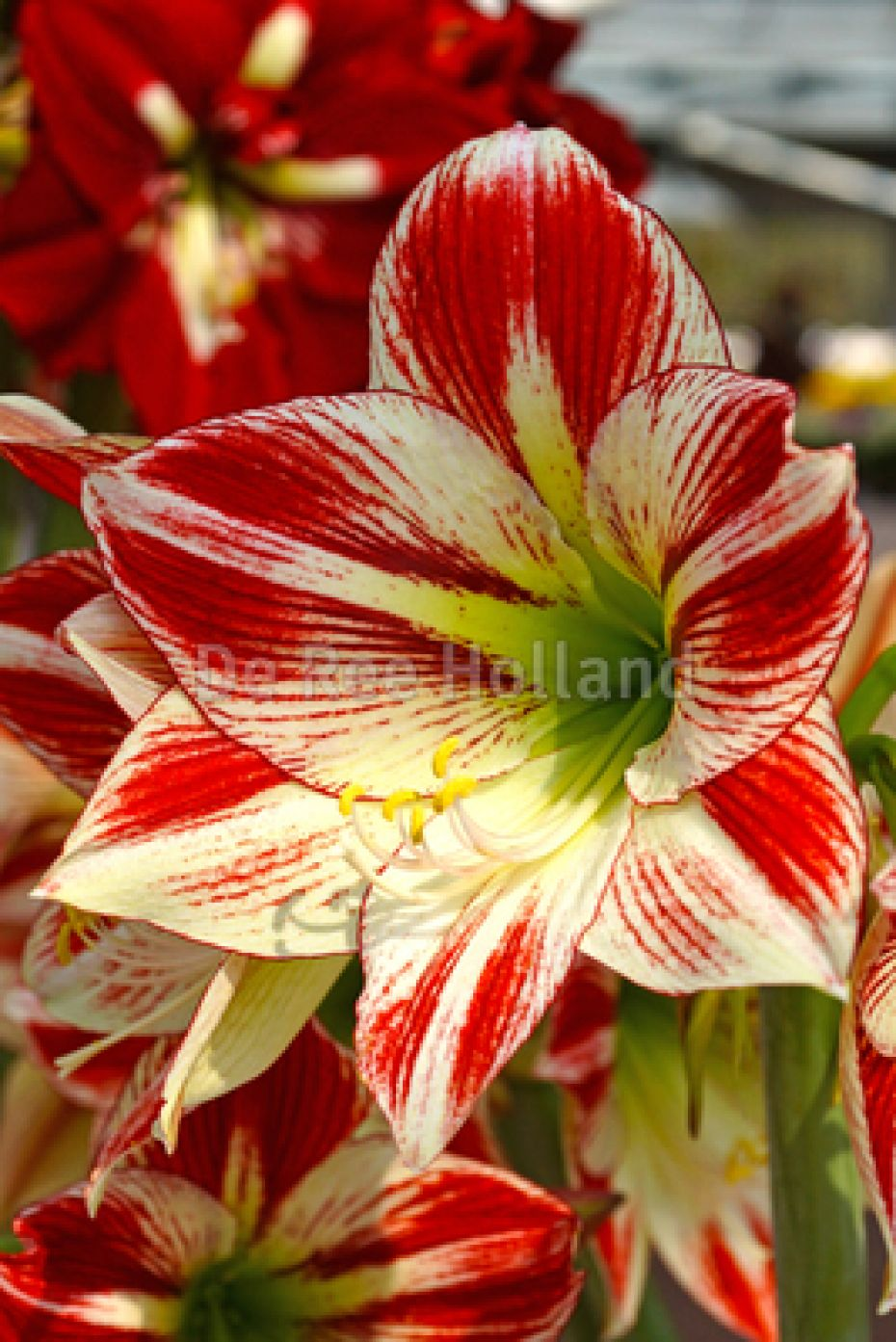 Image of   Amaryllis - Stribet - 69 - Hippeastrum - Stribet