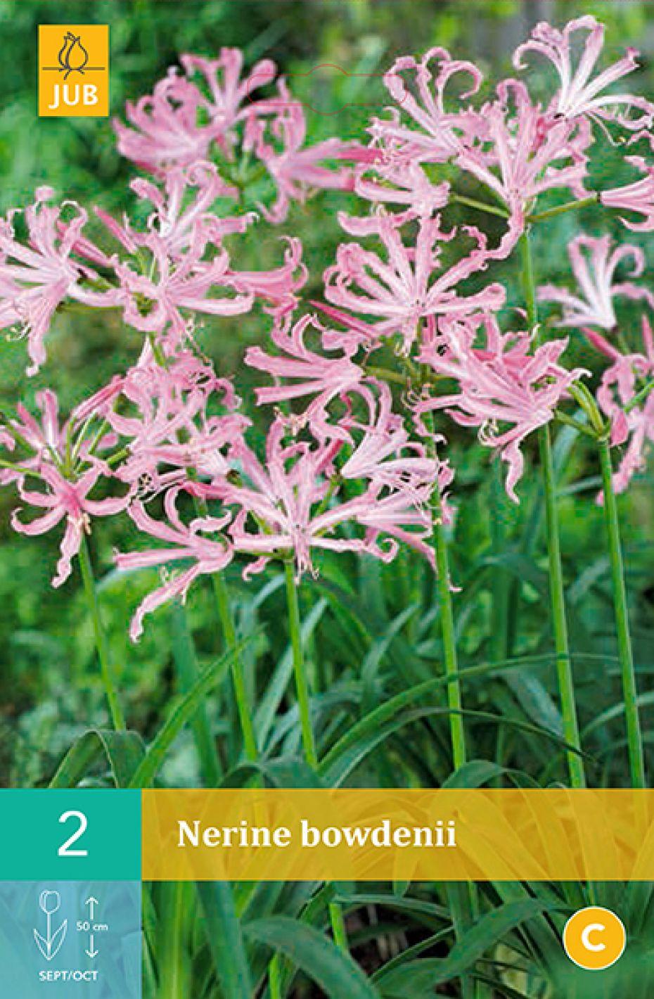 Lilje, Guernsey (nr. 150) - Nerine Bowdenii