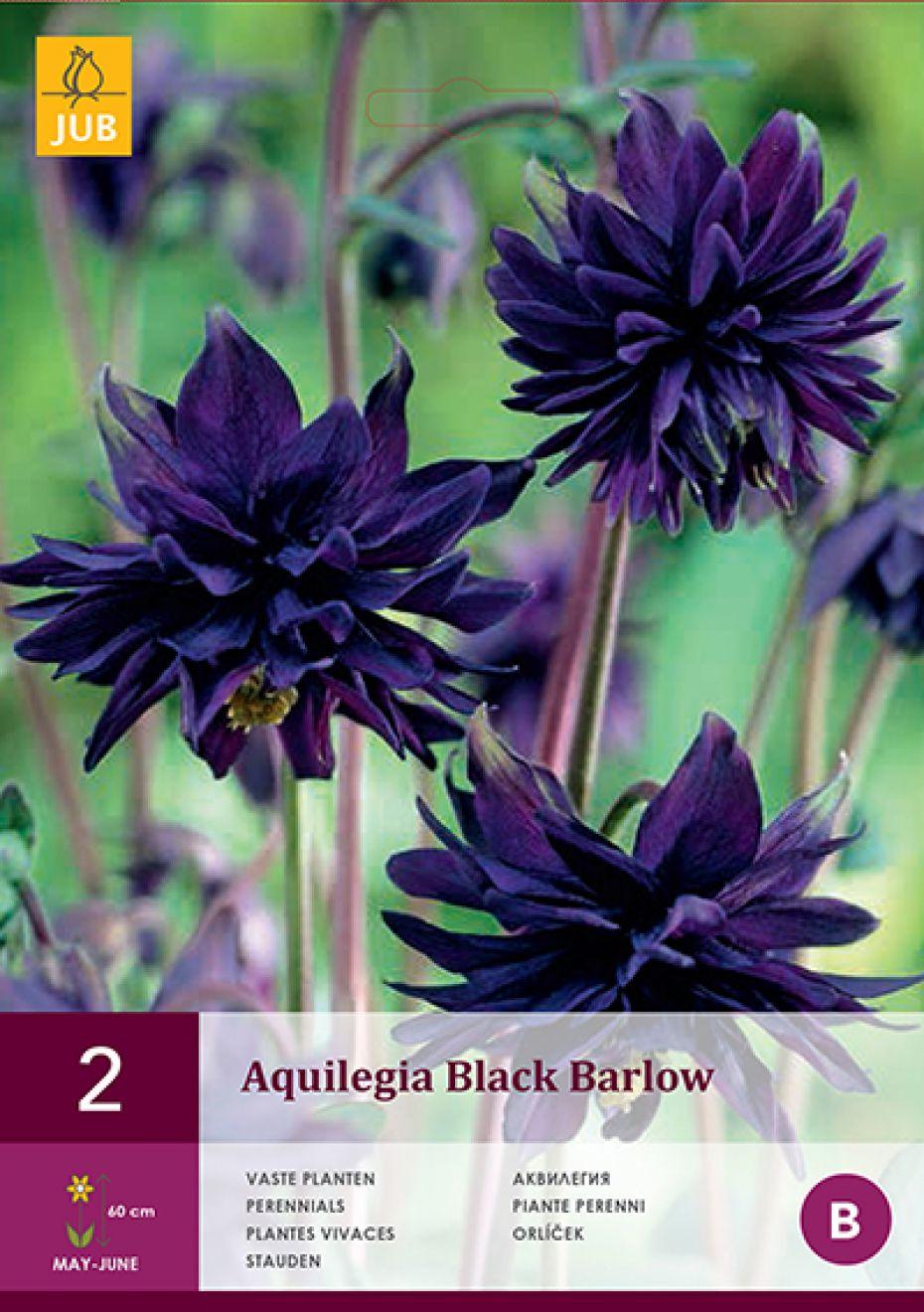 Image of   Akeleje Black Barlow (nr. 162) - Aquilegia Black Barlow