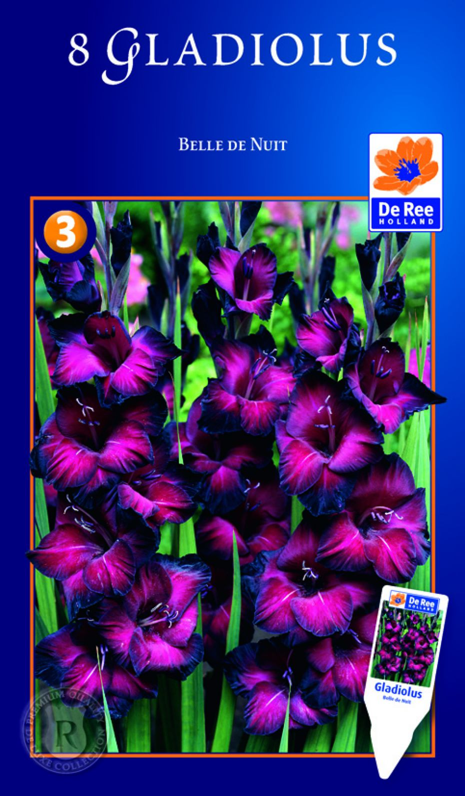 Gladiolus major - Belle de nuit plante ...
