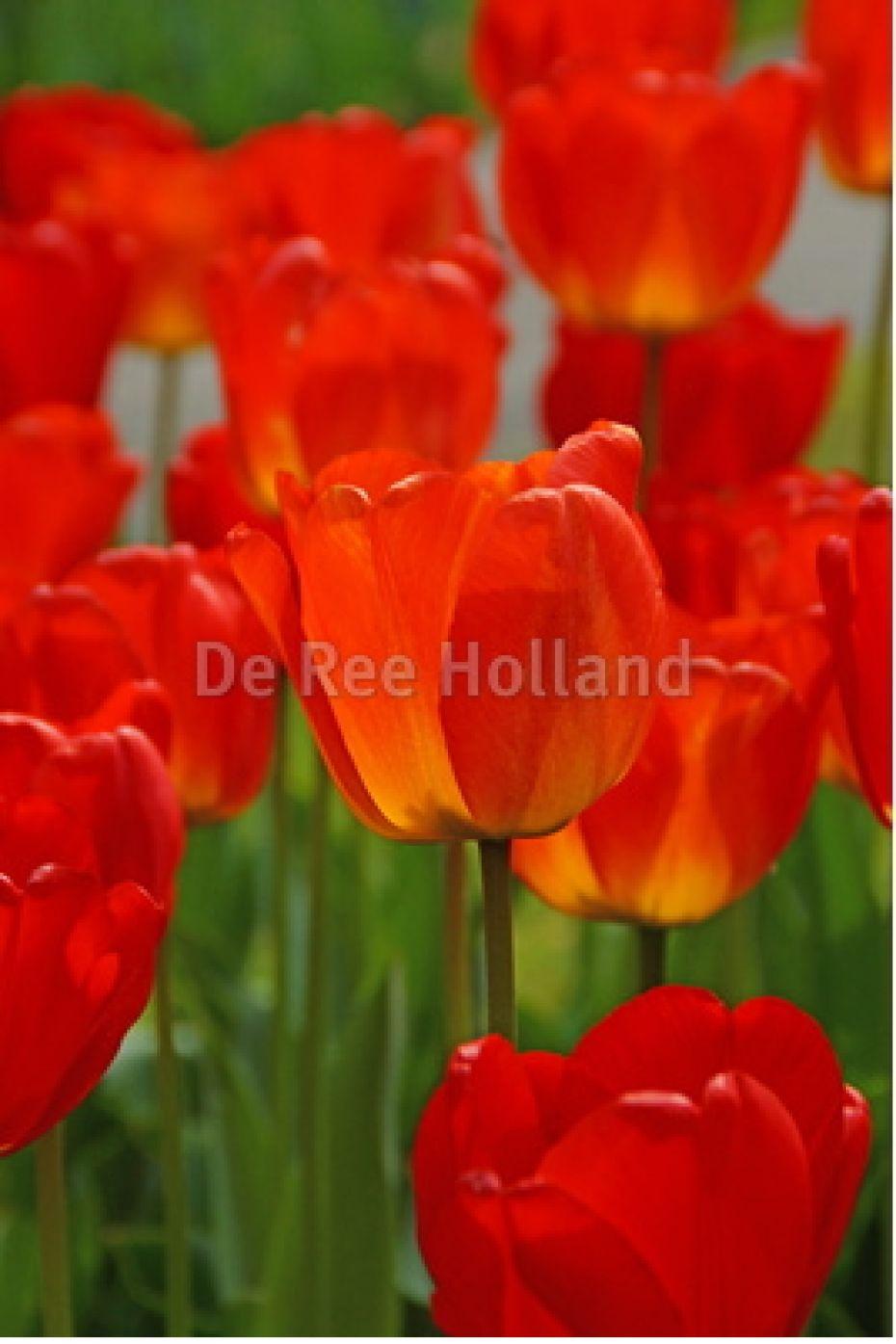 Image of   Tulipan, Darwin hybrider Apeldoorn - 101 - Tulips Darwin...
