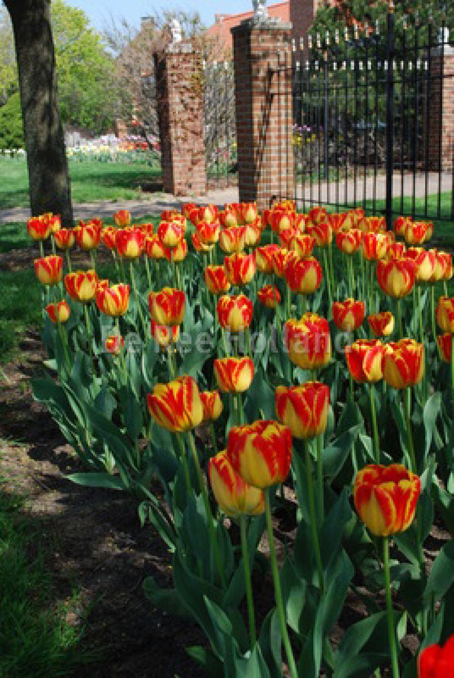 Image of   Tulipan, Darwin hybrider Banja Luka - 103 - Tulips Darwin...