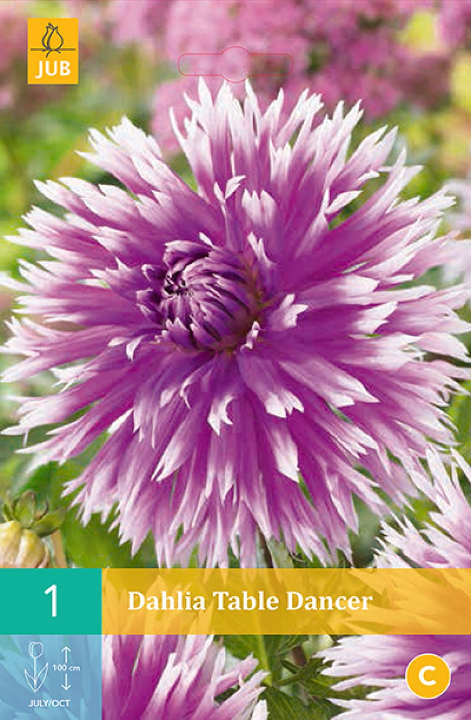 Image of   Dahlia Table Dancer (nr. 41) - Dahlia Fimbriata Table Dancer