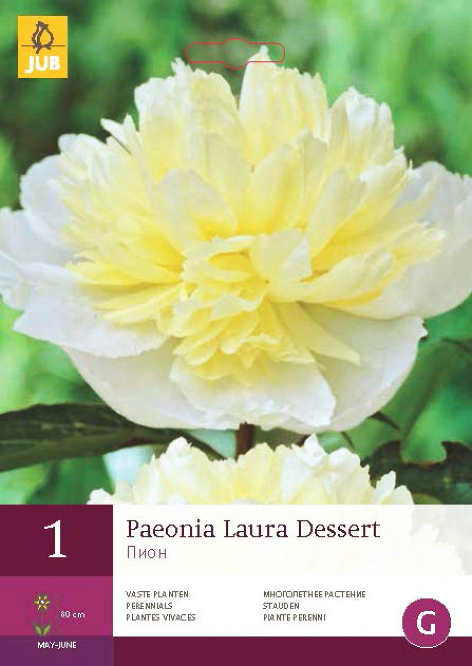 Image of   Pæon Laura Dessert - Paeonia Laura Dessert