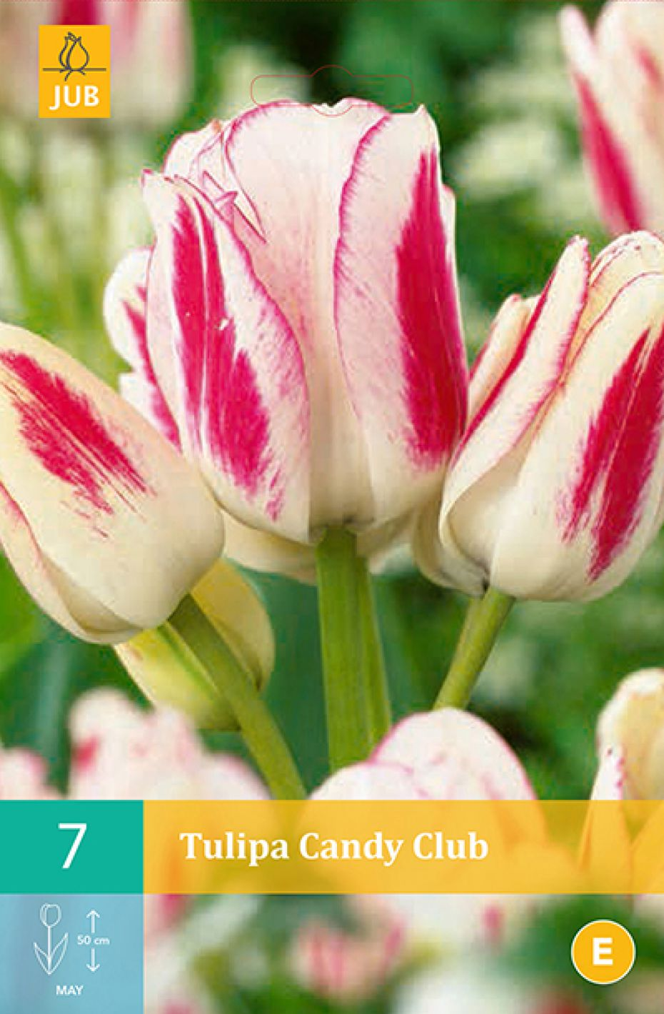 Multiblomstrende tulipan Candy Club (nr. E89) - Tulips...