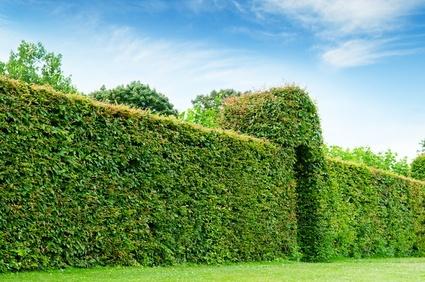 Hæk planter - Vores top 10 anbefalede, bøgehæk, avnbøg, liguster osv.