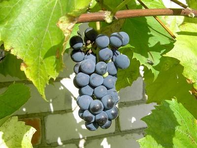 Vinplanter veleget til sydmuren