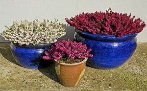 Lyngplanter til vinterkrukker