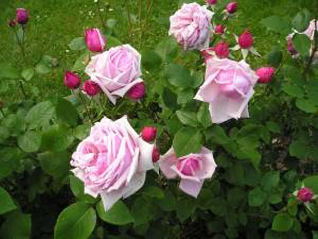 Image of   Storblomstrende rose La France - Rosa X La France