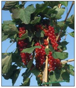 Ribs Rovada - Ribes rubrum Rovada