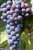 Image of   Vin Venus - Vitis vinifera Venus