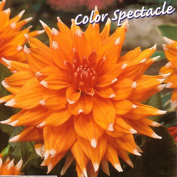 Pin Dahlia Cactus Color Spectacle on Pinterest