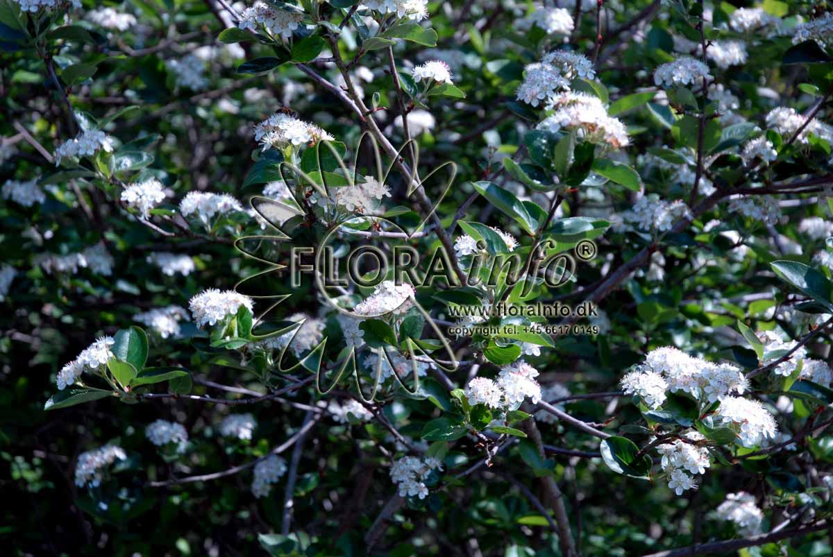 storbladet surb r aronia prunifolia 39 viking 39 prydbuske. Black Bedroom Furniture Sets. Home Design Ideas