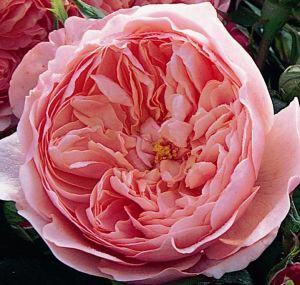 Austin 'The Alnwick Rose'/Rosa x 'The Alnwick Rose'