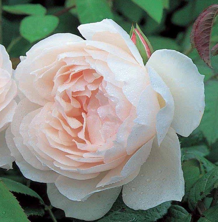 Austin 39 The Generous Gardener 39 Rosa X 39 The Generous
