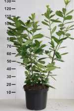 Kirsebærlaurbær 'Novita' / Prunus laurocerasus 'Novita' / Hæk