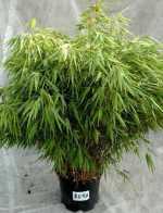 bambusplanter k b billige planter af bambus til haven her. Black Bedroom Furniture Sets. Home Design Ideas